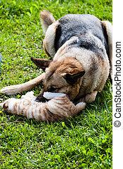 chien domestique, combat, chat