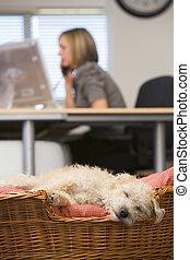chien, dormir, dans, bureau maison, à, femme, dans, fond
