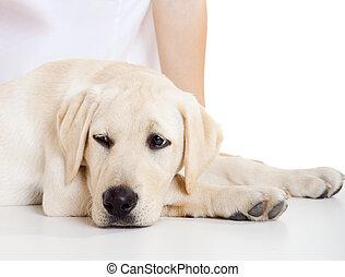 chien, malade