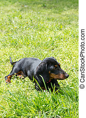 chien, mensonges, vert, petit, noir, herbe, teckel