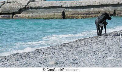 chien, mer, rocheux, plage., désert, noir, vagues, errant, ...