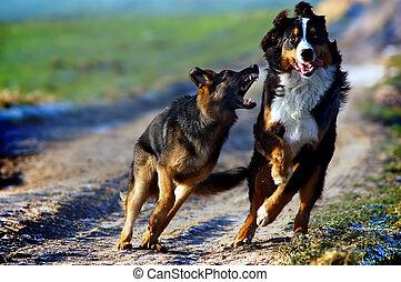 chien montagne bernese