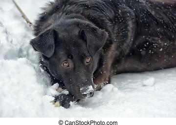 chien noir, hiver, cabot