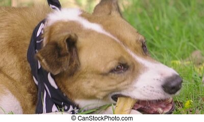 chien orange, bone., mensonges, mâche, herbe