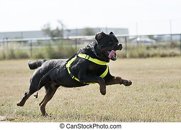 chien, police, formation