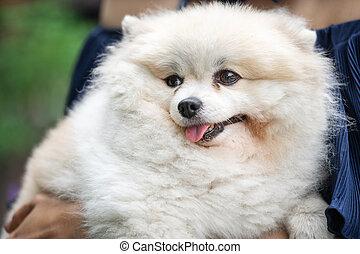 chien, pomeranian, blanc