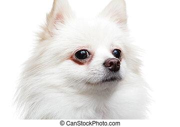 chien, pomeranian