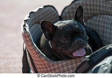 chien pug, lit