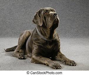 chien race, gris