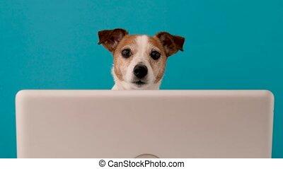 chien, rigolote, appareil photo, regarder, séance, ordinateur portable