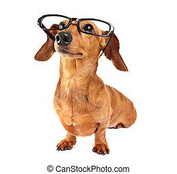 chien, teckel, lunettes