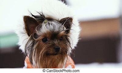 chien, vêtements hiver