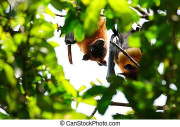chien, vampyrus, pteropus, bat., voler, renard, fruit, ou
