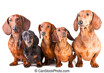 chiens, isolé, séance, teckel, cinq, blanc