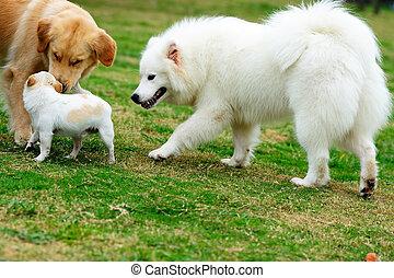 chiens, jouer, trois