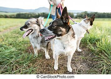 chiens, nature, ensoleillé, pregnant, vert, femme, ...