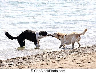 chiens, plage, jouer, deux