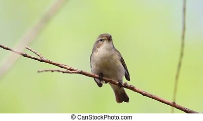 Chiffchaff singing on the branch and flies, wild nature,...