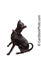 chihuahua , μαύρο