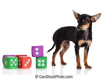 chihuahua, 犬, 5, 月, 隔離された, 白, old., さいころ, バックグラウンド。