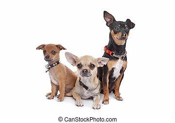 chihuahua, 3, 犬