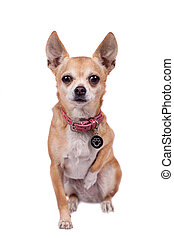 Chihuahua, 9 years old, on the white background - Chihuahua,...