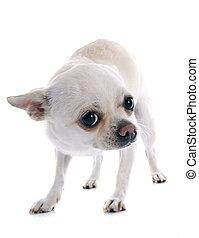 chihuahua, amedrontado
