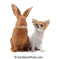 chihuahua and Rabbit