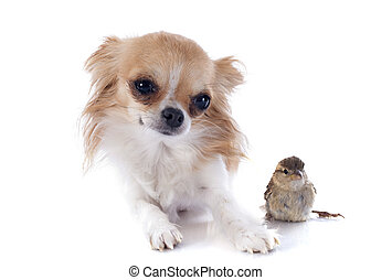 chihuahua and sparrow