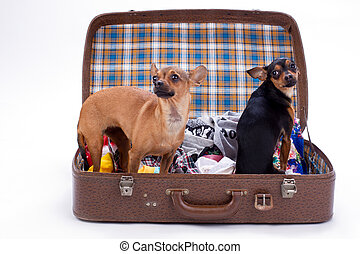 Chihuahua and toy-terrier in travel suitcase.