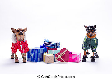 Chihuahua and toy-terrier with gift boxes.