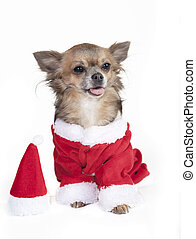 chihuahua as Santa Claus