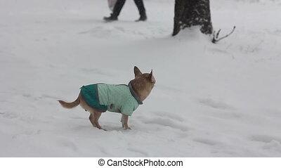 chihuahua at winter day - 1