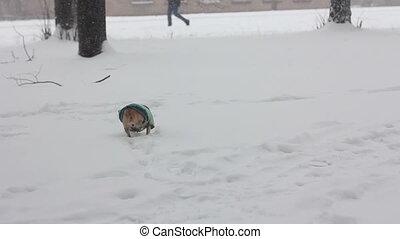 chihuahua at winter day - 3