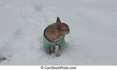 chihuahua at winter day - 5 - chihuahua dog at snowy winter...