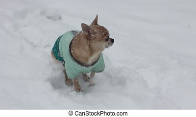 chihuahua at winter day shaking from the cold