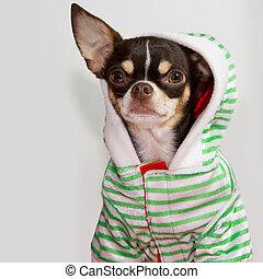 Chihuahua attitude.
