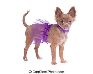 Chihuahua ballerina
