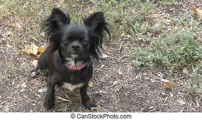 Chihuahua black color - Chihuahua black on Walkabout