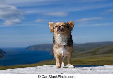 Chihuahua breathing fresh air against Scandinavian landscape