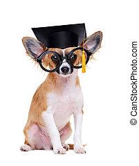 chihuahua, cane, il portare, consiglio mortaio, cappello