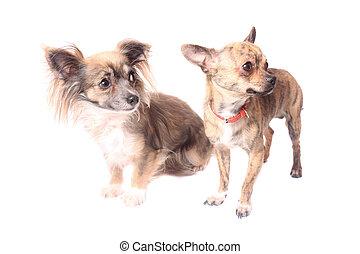 chihuahua, chiens