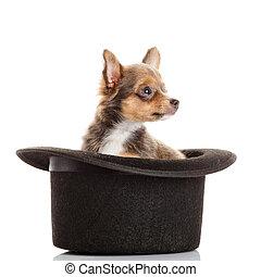 chihuahua, chiot, hat.
