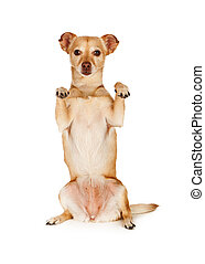 Chihuahua Crossbreed Begging With Paws - A cute little...