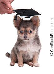 chihuahua, cucciolo, il portare, uno, consiglio mortaio,...