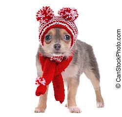chihuahua, cucciolo, vestito, in, rosso bianco, strisce, cappello divertente, e, sciarpa