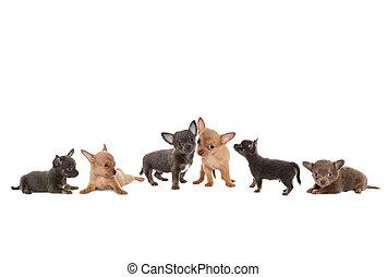 Chihuahua dog border