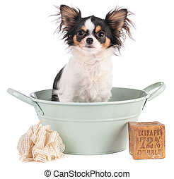 "Chihuahua dog in a basin with Marseilles soap with ""Extra ..."