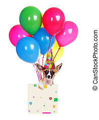 chihuahua dog  in a box with  colorful balloons