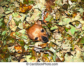 Chihuahua Dog in Autumn Leaves